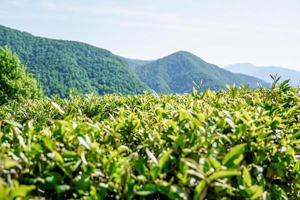 В Сочи местный чай будут продвигать через санатории и отели курорта