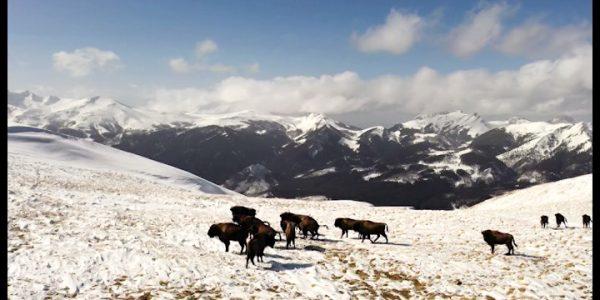 Кубанский фотограф смог заснять прогулку зубров в горах Мостовского района