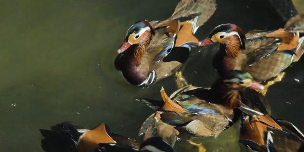 В сочинском парке «Южные культуры» поселились утки-мандаринки