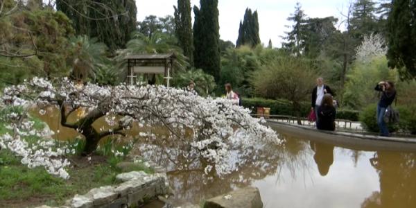 Цветение сакуры в Сочи задержалось из-за холодов — «Факты 24»