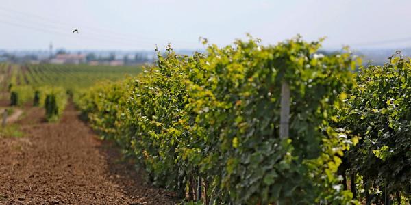 Площадь виноградопригодных земель на Кубани увеличилась почти в два раза