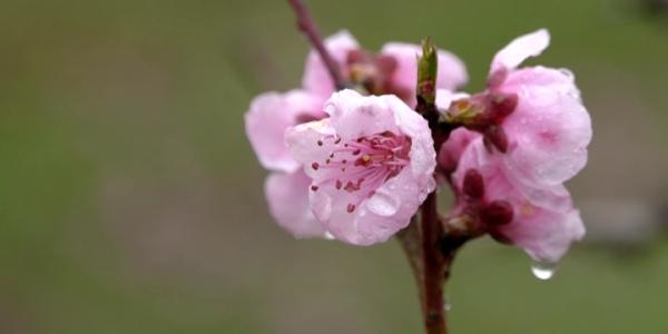 В Краснодарском крае началось цветение персиковых деревьев