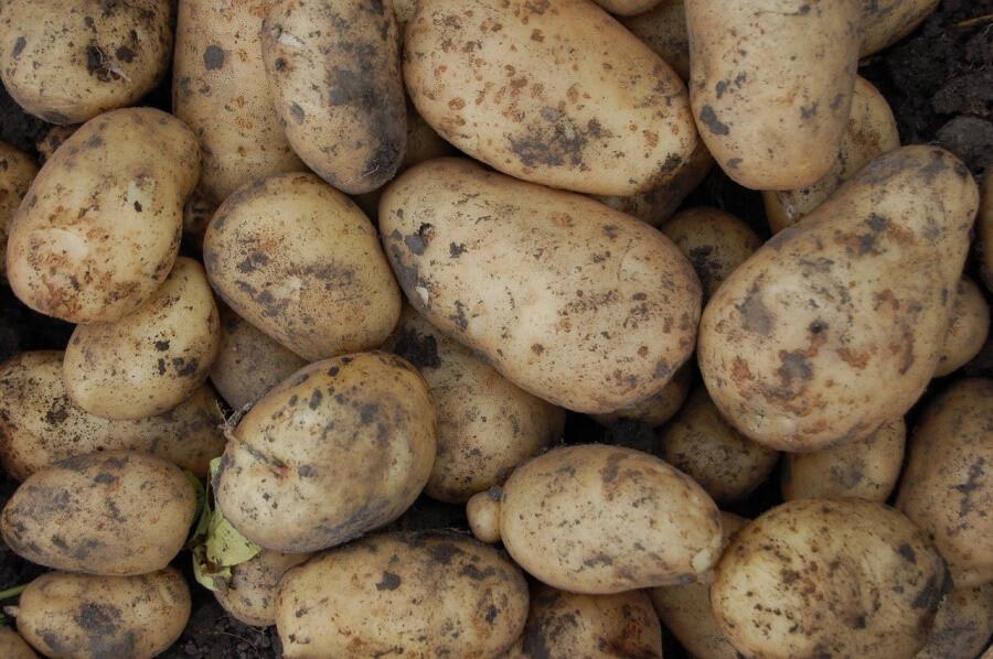 В Краснодарский край из Египта пытались ввезти 27,5 т картофеля с гусеницами