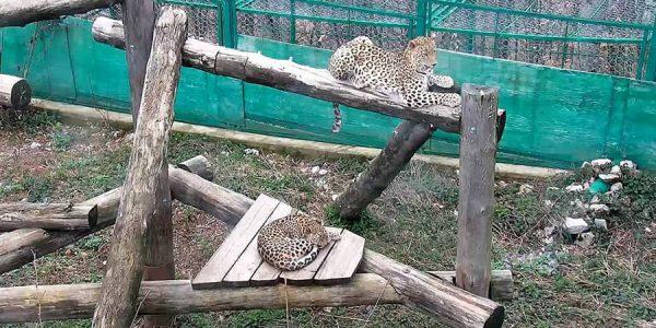 В Сочи спарились два леопарда, их потомство выпустят в дикую природу