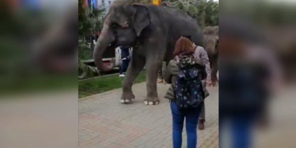 В центре Сочи по аллее гуляли слоны