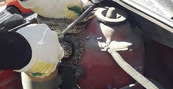 В Новороссийске змея заползла под капот автомобиля, ее достали спасатели