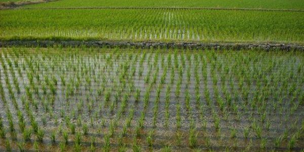 На Кубани почти на 50% выполнили план по севу риса