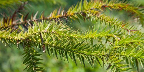 В Сочи высадили саженцы редкого канделябрового дерева