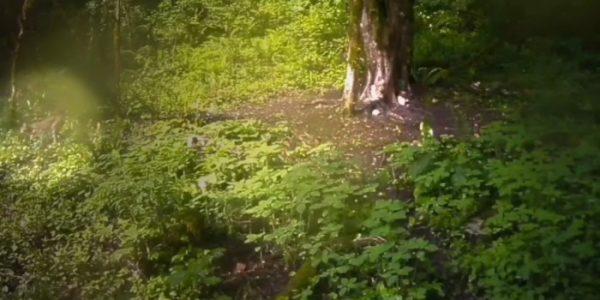 Редкая рысь попала в объектив фотоловушки в Сочинском нацпарке