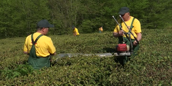В Сочи в 2021 году на чайной плантации соберут первый после реконструкции урожай