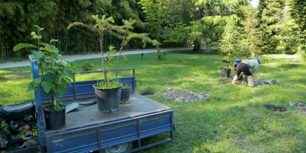 В Сочи в дендропарке «Южные культуры» высадили араукарии