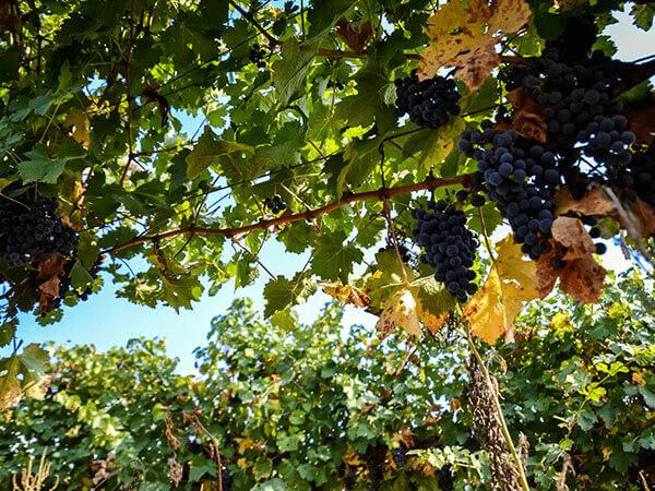 Минсельхоз: обновленный закон введет в оборот новые виноградопригодные земли