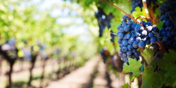 Кубанские фермеры смогут выпускать вино защищенного географического указания