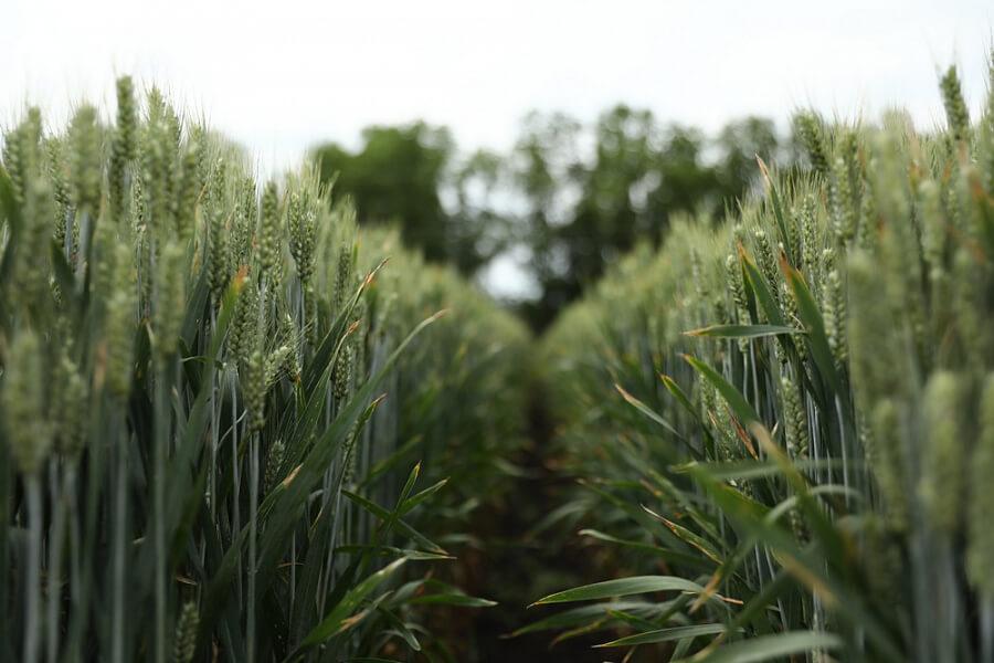 На Кубани в меню школьного питания могут включить каши из полбяной пшеницы