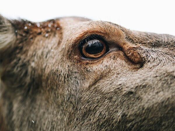 На Кубани ищут браконьеров, убивших двух беременных самок благородного оленя