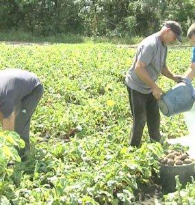 В Усть-Лабинском районе стартовала уборка урожая борщовой свеклы