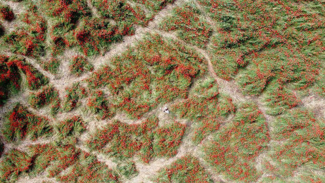 Краснодарцы ради фотосессий вытоптали маковое поле
