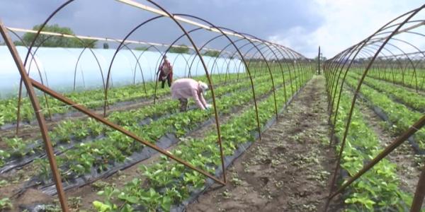 В Ейском районе начали уборку на самой большой плантации клубники