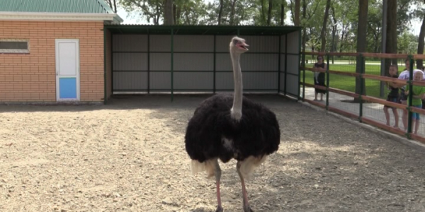 В Северный парк Славянска-на-Кубани поселили страуса