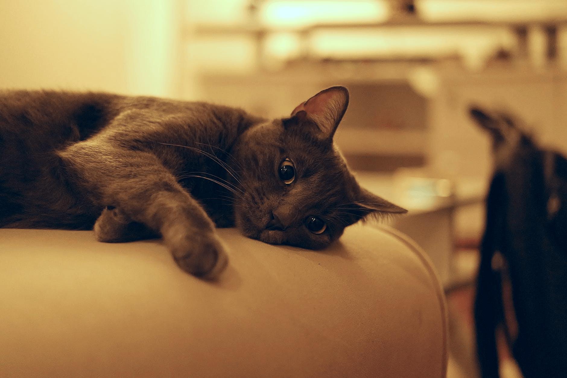 На Кубани хозяева лечили кота от блох спреем от комаров, животное погибло