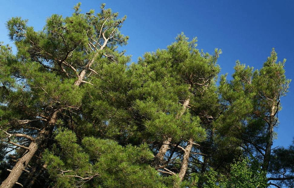 В Абрау-Дюрсо спилили 30 краснокнижных сосен почти на 1 млн рублей