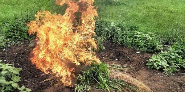 В Анапе в рамках операции «Мак» уничтожили заросли дикорастущей конопли