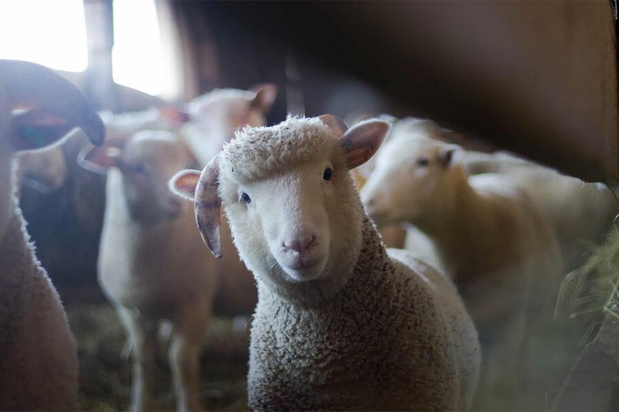 На Крымском мосту задержали машину с 80 овцами без документов
