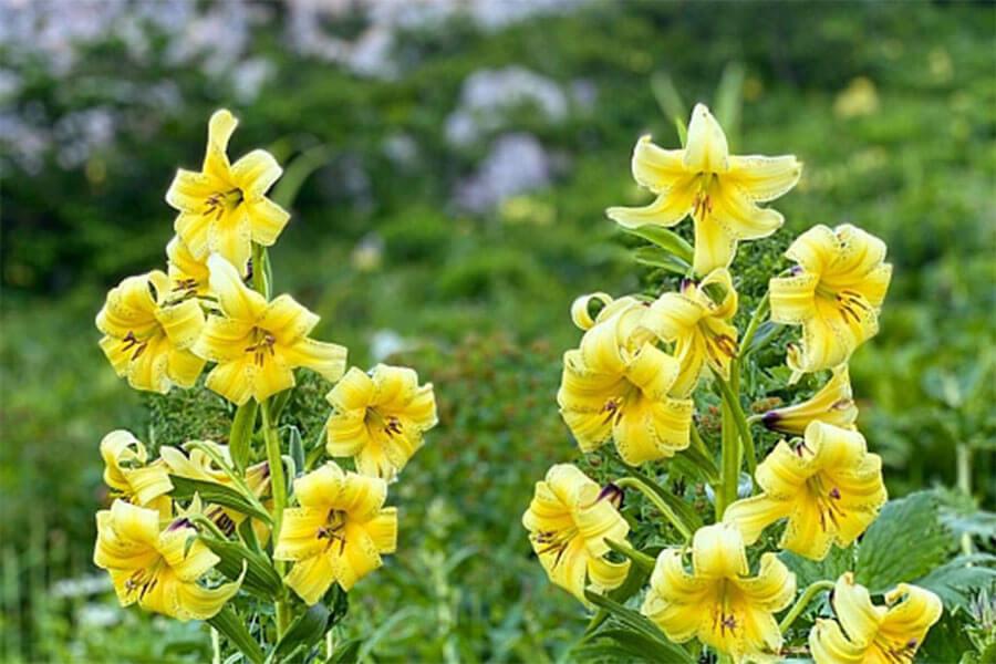 В горах Сочи зацвела краснокнижная лилия Кессельринга