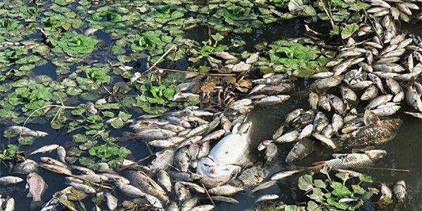 Мор рыбы в Краснодаре произошел из-за сильной жары и низкого уровня кислорода