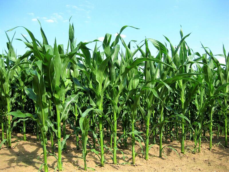 На Кубани начались испытания инновационных биопрепаратов для сельского хозяйства
