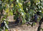 Ежегодно на Кубани закладывают по 2 тыс. га новых виноградников — «Факты 24»