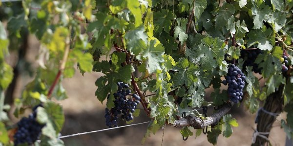 В Краснодарском крае из-за непогоды отложили уборку винограда