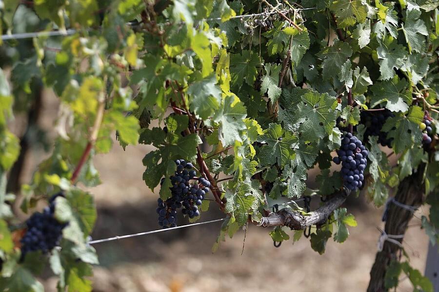 В Генплане Анапы закрепили все виноградопригодные земли