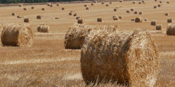 В Кореновском районе завершается сбор зерна