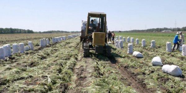 В Краснодарском крае начался сбор картофеля