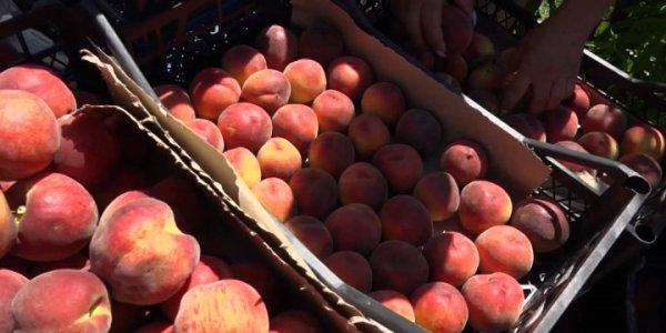 На Кубани приступили к сбору урожая персиков и нектаринов