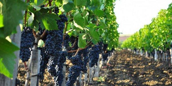 Кондратьев: уборка винограда стартует в начале августа