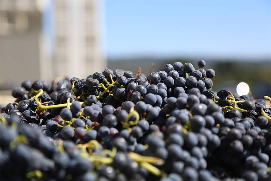 grapes-825998_1920