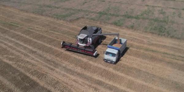 В Анапе убрали 50% озимой пшеницы