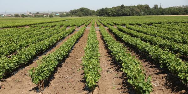 Краснодарский край в этом году на треть увеличил экспорт вина и шампанского