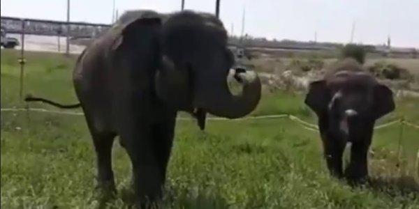 На Кубани вдоль трассы М-4 гуляли слониха и слоненок