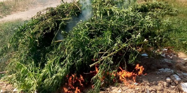 В Темрюкском районе правоохранители сожгли 350 кустов конопли