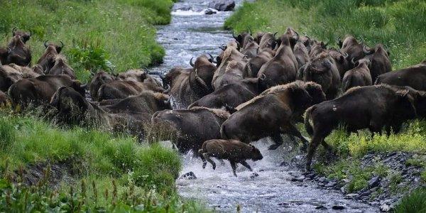 В Кавказском заповеднике насчитали около 1,2 тыс. зубров