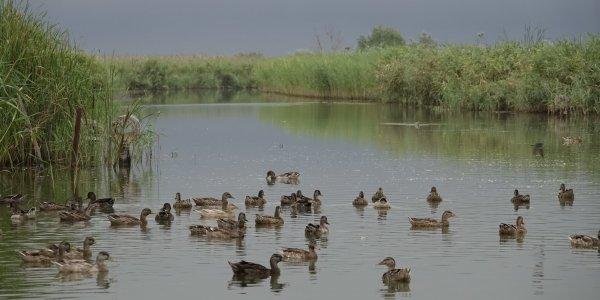 В Славянском районе в природу выпустили более 300 уток-крякв