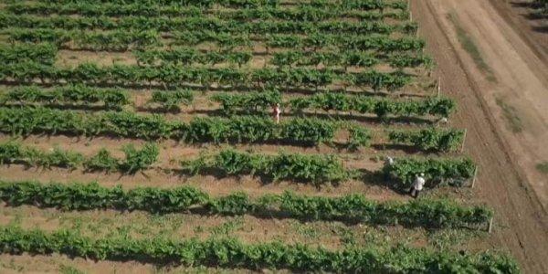 На Кубани из-за непогоды пострадали виноградники
