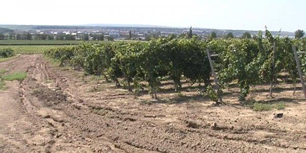 На Кубани из-за непогоды подтопило 18 тыс. га виноградников