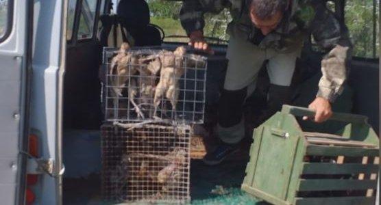 В Темрюкском районе на волю выпустили 200 уток и 100 фазанов