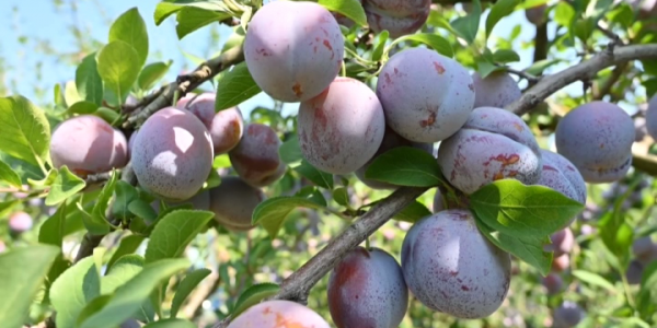 В Краснодарском крае садоводы приступили к сбору сливы