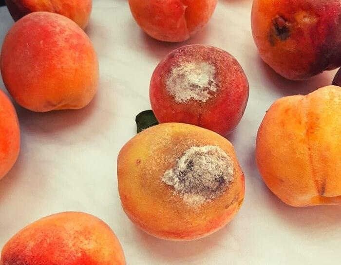 На Кубани задержали около 20 т зараженных насекомыми персиков и нектаринов