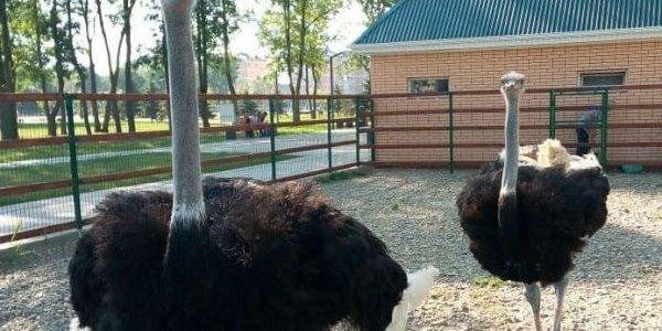 На Кубани проверили страусов после нападения на них пьяных мужчин